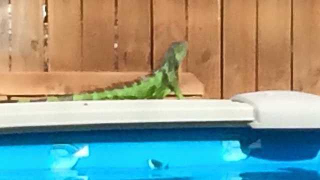 Iguana poolside.
