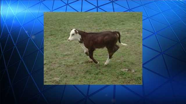 The Palm Beach County Sheriff's Office is looking for those responsible for stealing a dozen cows.