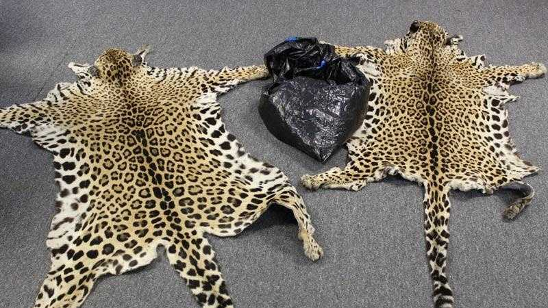 Prosecutors say Elias Garcia and Maria Plancarte sold these jaguar skins to undercover federal wildlife agents.