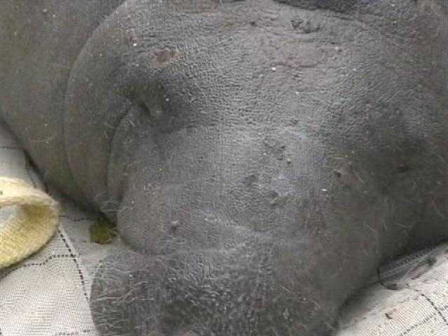 This 900-pound rehabilitated manatee traveled by truck from the Miami Seaquarium to North Palm Beach to be released back into the water.