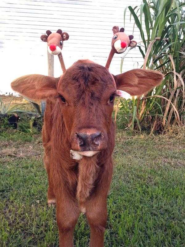A u local mobile user named Bobbie Jo -- from Okeechobee, Fla. -- sent in this picture of a baby calf rockin' a reindeer head band. Too cute!