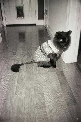 """Meet Oprah. Flickr user aaron_anderer says """"she had recently had surgery to remove a bunch of cysts along her spine. Instead of an e-collar, we put a sweater on her. She made no attempt to take it off or to scratch her sutures. She is a great kitty!"""" Get well soon, Oprah!"""