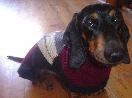 Argyle is apparently very in right now. Flickr user CocteauBoy says Frankie gets ready for his walk in this smashing sweater gown.