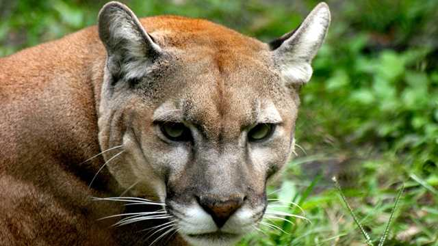 Colin Patrick, a 17-year-old Florida panther that was born at the Palm Beach Zoo in 1995, has been euthanized.