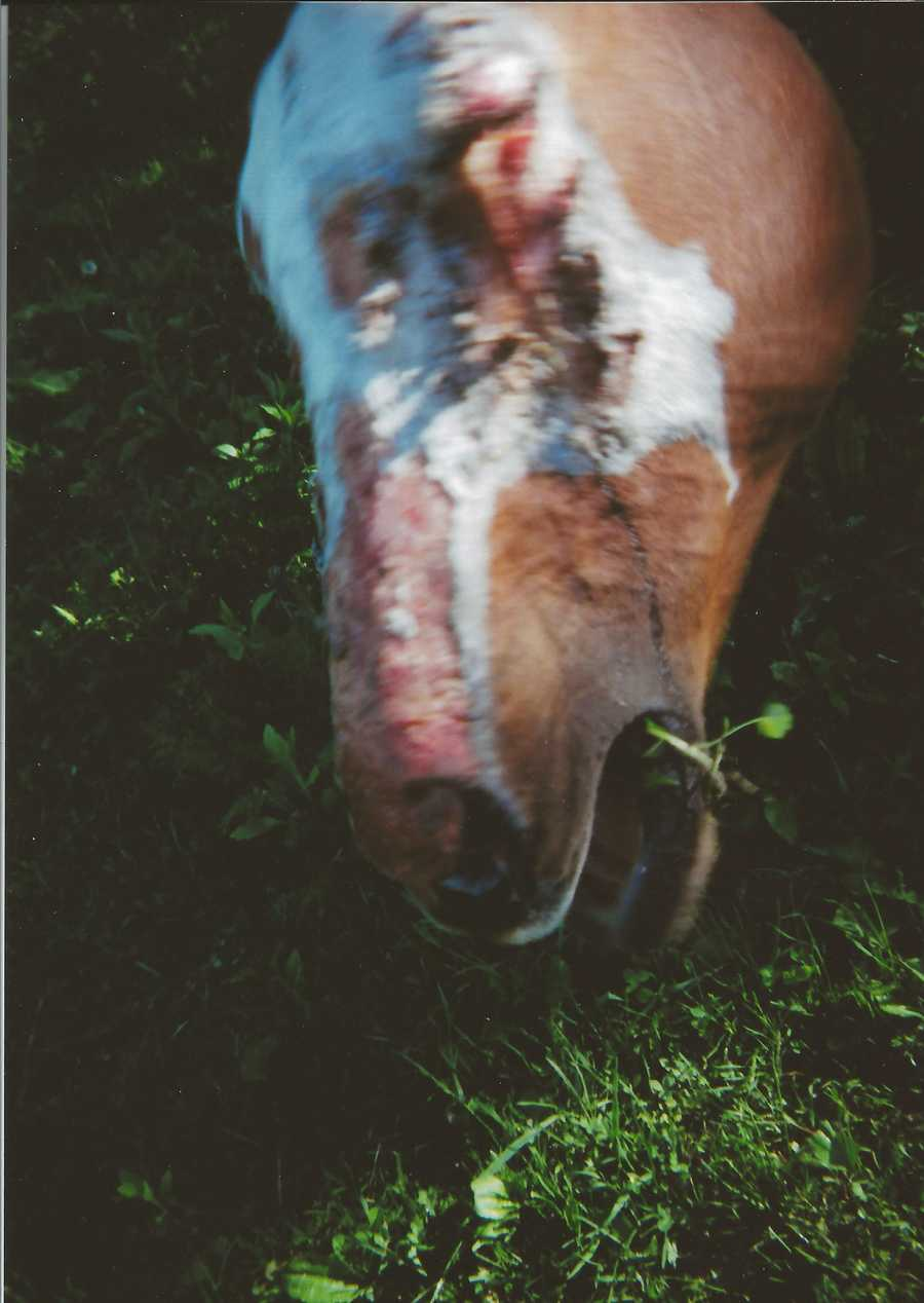 Police in Vermont are investigating a disturbing case of animal cruelty in Essex. Nellie, a 13-year-old Paint mare, was attacked with a chemical spray which left her with severe burns and blind in her left eye. The eye has to be removed.