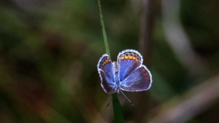 The Karner blue butterfly produced an unprecedented third generation this year thanks to an early start on mating, said Neil Gifford, conservation director of the Albany Pine Bush Preserve.