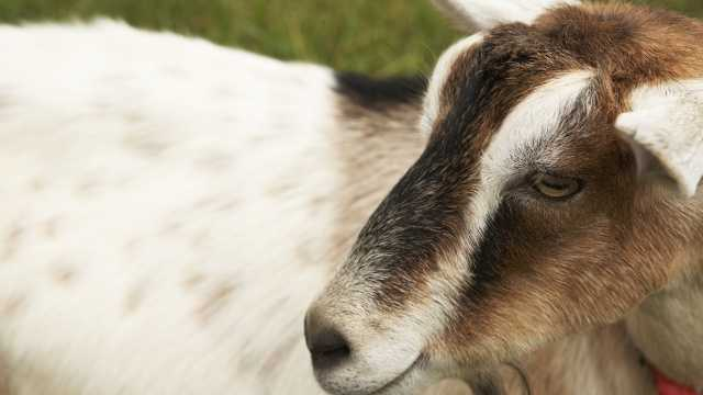 Fat Toad Farm: Goat