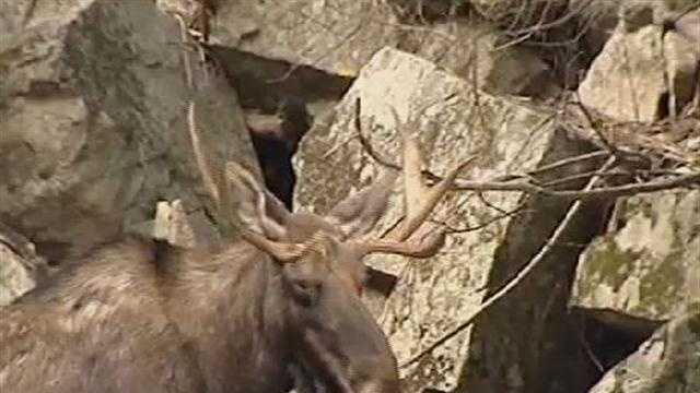 Moose in woods