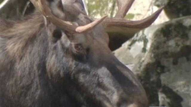 We all saw the pictures…a moose trapped in a ravine near Lake Placid.  Hundreds stopped to watch him.
