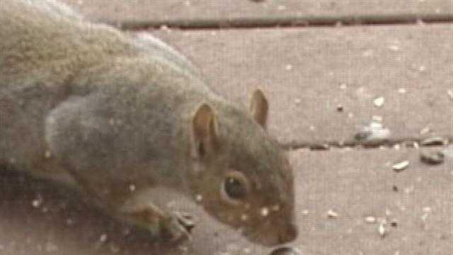 Squirrel snags an acorn