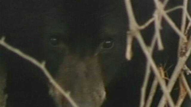 The Plattsburgh bear cub eluded catpure Wednesday afternoon.