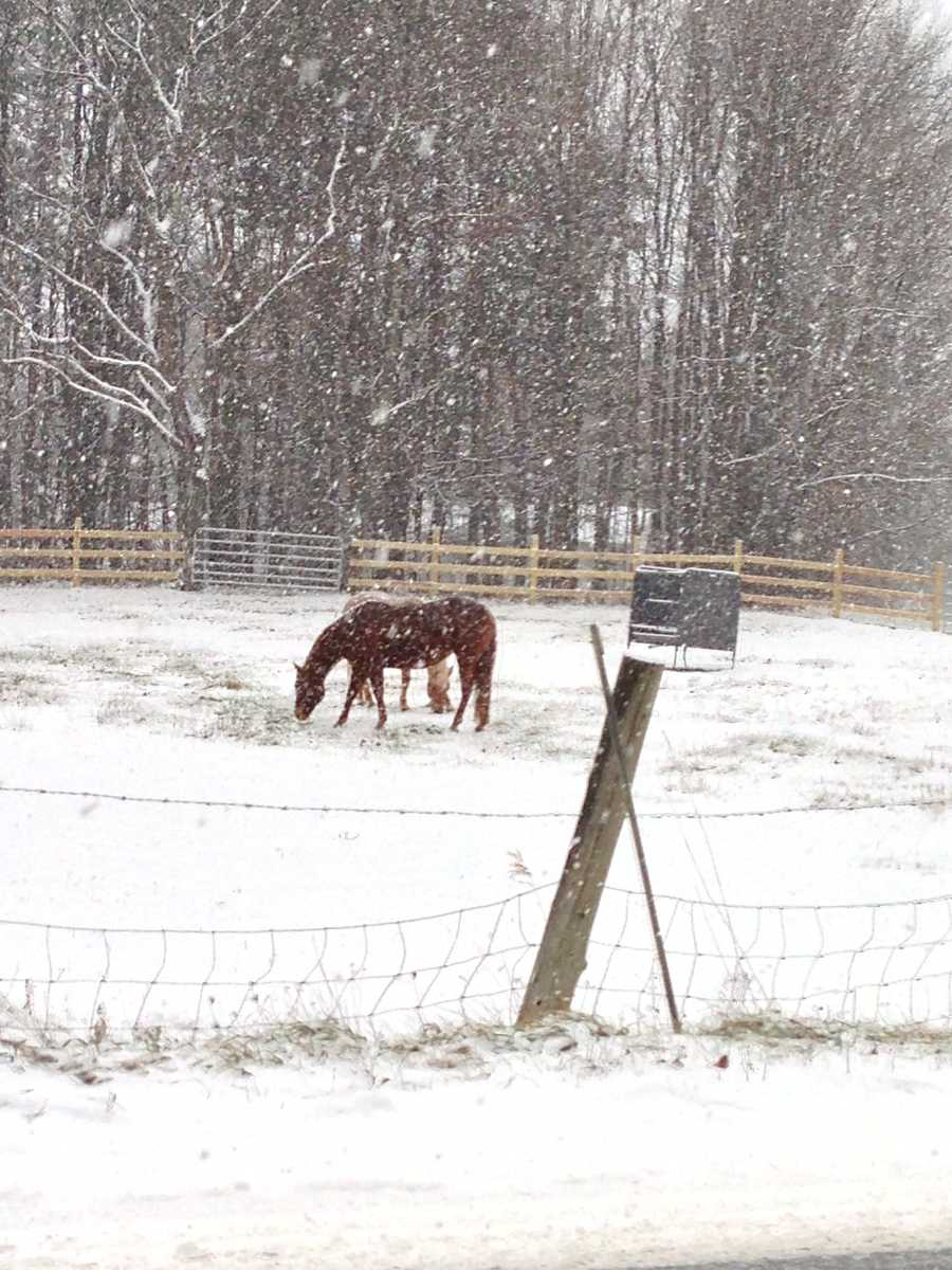 Horses in Essex Center munch snow covered grass.