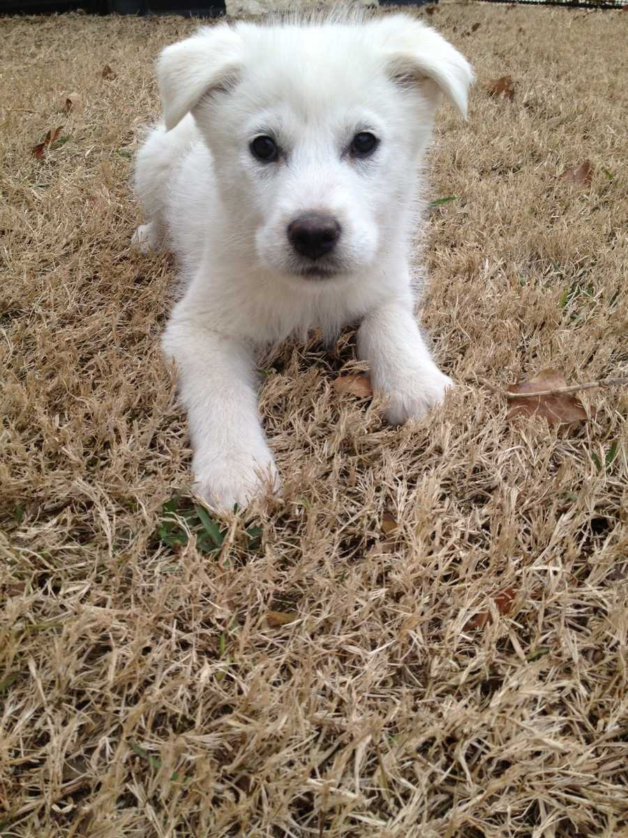 Harck is one of four puppies rescued from a shelter in Dallas. Harck is scheduled for surgery to repair a hole in her heart.