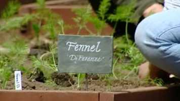 Another crop: Fennel!