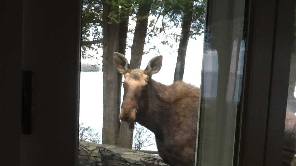 An unexpected house guest graces a Shelburne woman's home.