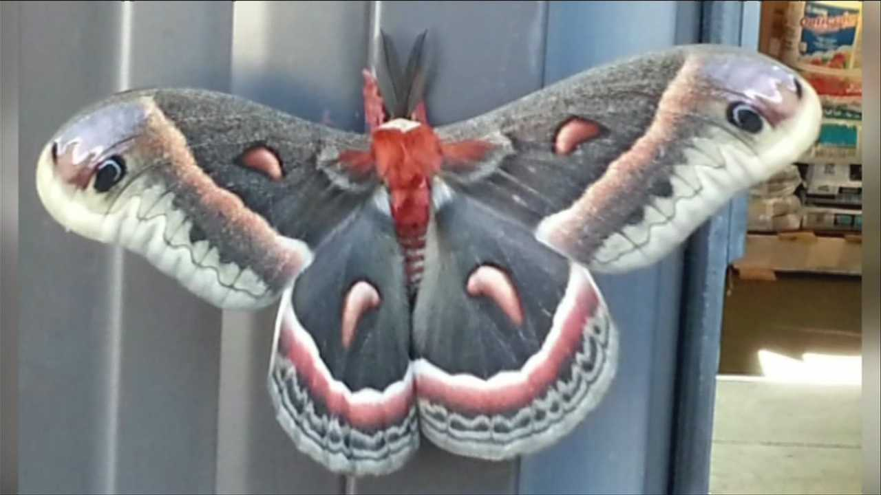 06-27-13 Public Asked to Report Giant Silkmoths - img