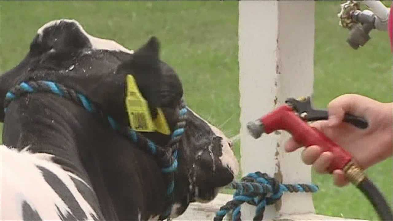 How farmers keep cows cool in sweltering heat