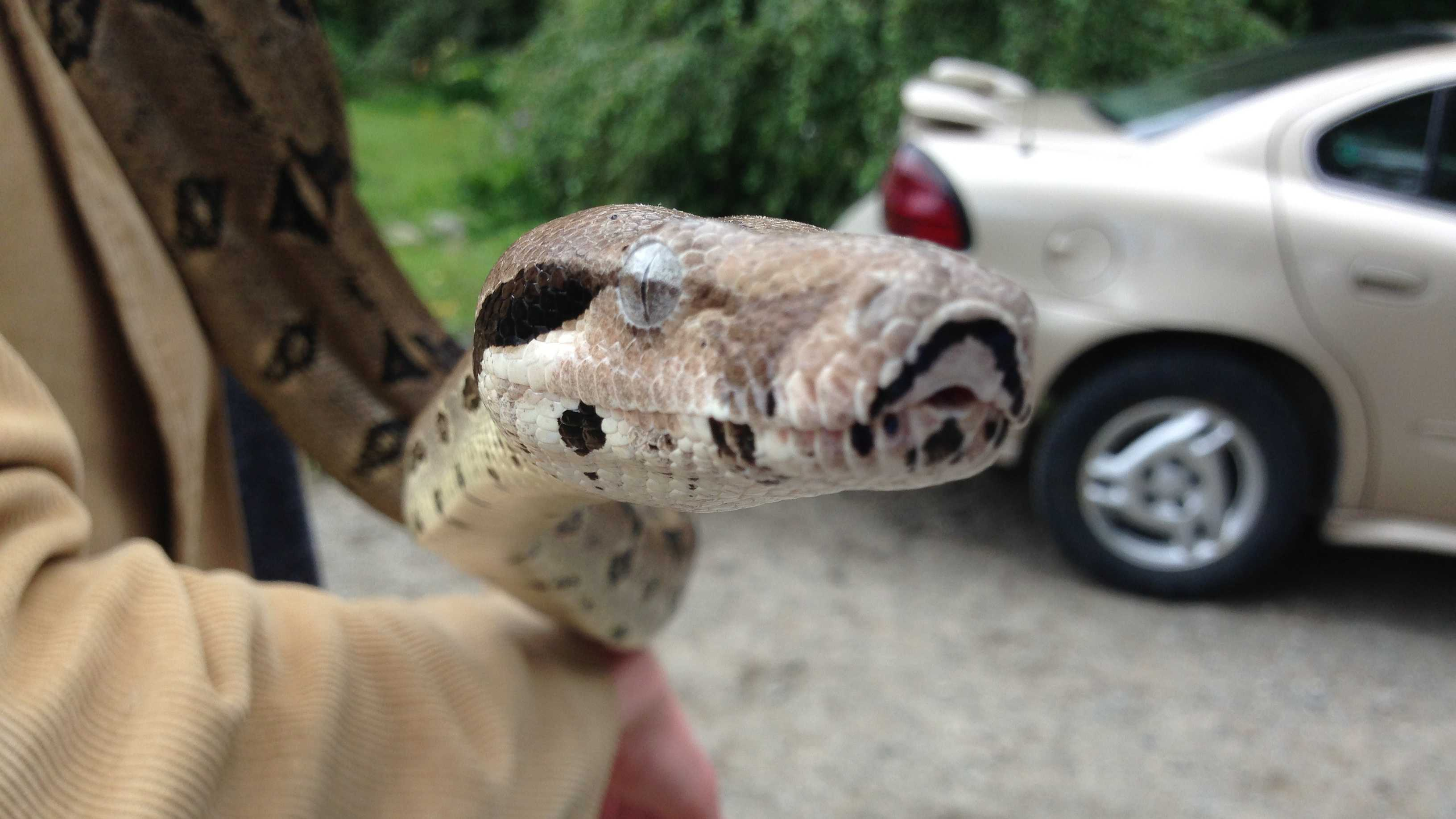 A 5-foot boa constrictor was discovered in Leddy Park's parking lot.