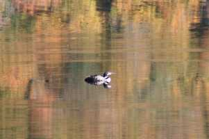 Loon on Belvidere Pond, Belvidere, Vt. by Loriaan Lagro.
