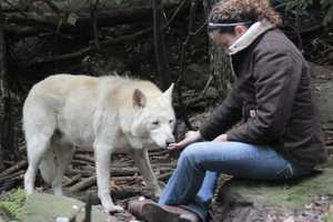 UVHS Executive Director, Deb Turcott, works with McKenzie, a 5-year-old wolf-hybrid, during a bonding protocol exercise prior to transport off the mountain. UVHS assessed medical condition and behavior prior to transport.