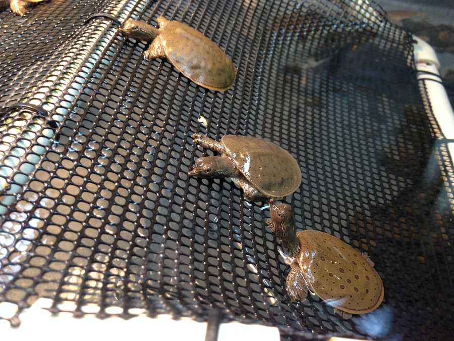 Spiny softshell turtles arrived at the Echo Lake Aquarium and Science Center on Wednesday. The turtles will be raised at Echo and released next year.