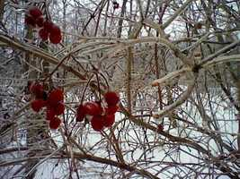Berries are coated with ice in Saranac, New York.