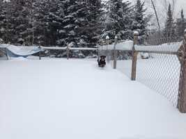 Pix E. Stick, a.k.a The Hulk, blasts through the fresh snow in her dog kennel.