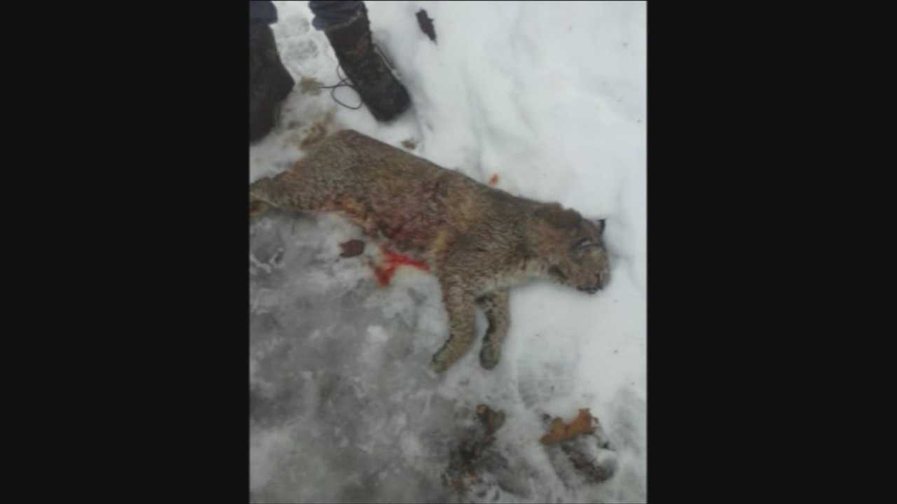 Rabid Bobcat killed in Clarendon