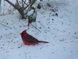 Judy in Swanton, Vermont captured this beautiful cardinal enjoying a snack from her feeder.