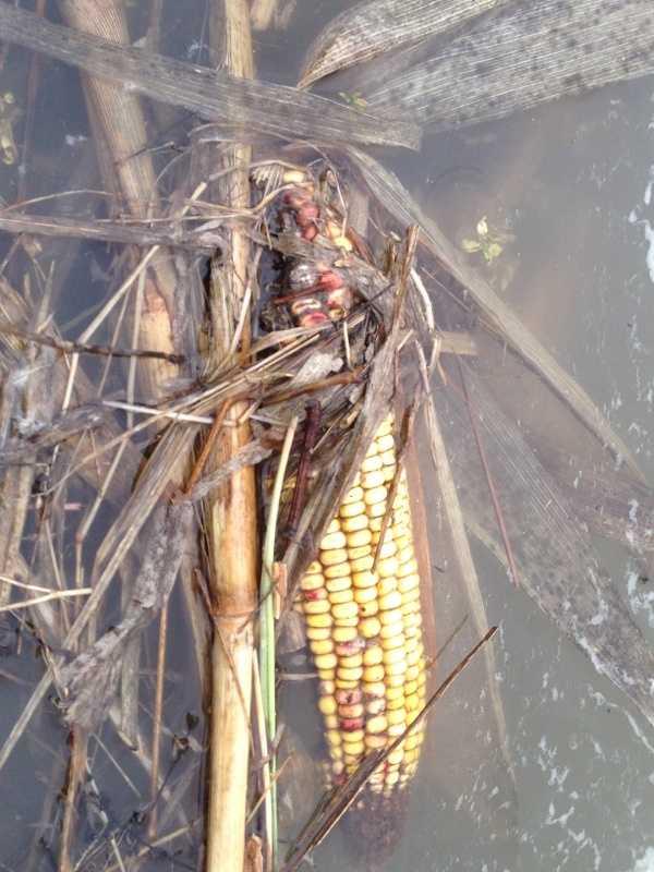 An ear of corn floats in a flood farm field near Quarry Hill Farm in Jeffersonville, Vt.