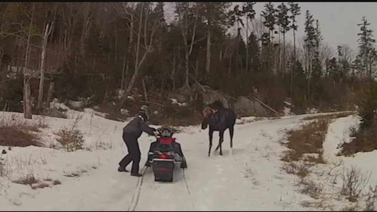 A Belmont couple was attacked by a moose while snowmobiling in Maine on Friday, April 18.