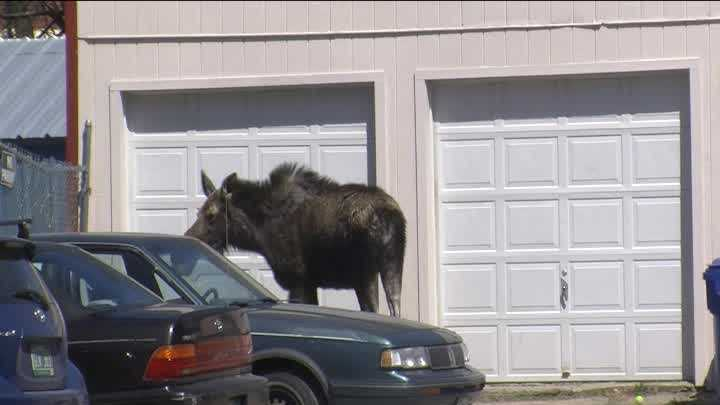 Moose on the loose on North Street in Burlington.