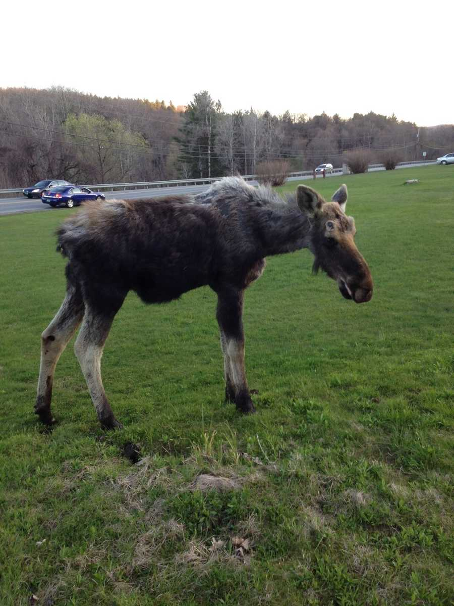 Moose spotted on just outside of Woodstock, Vt.