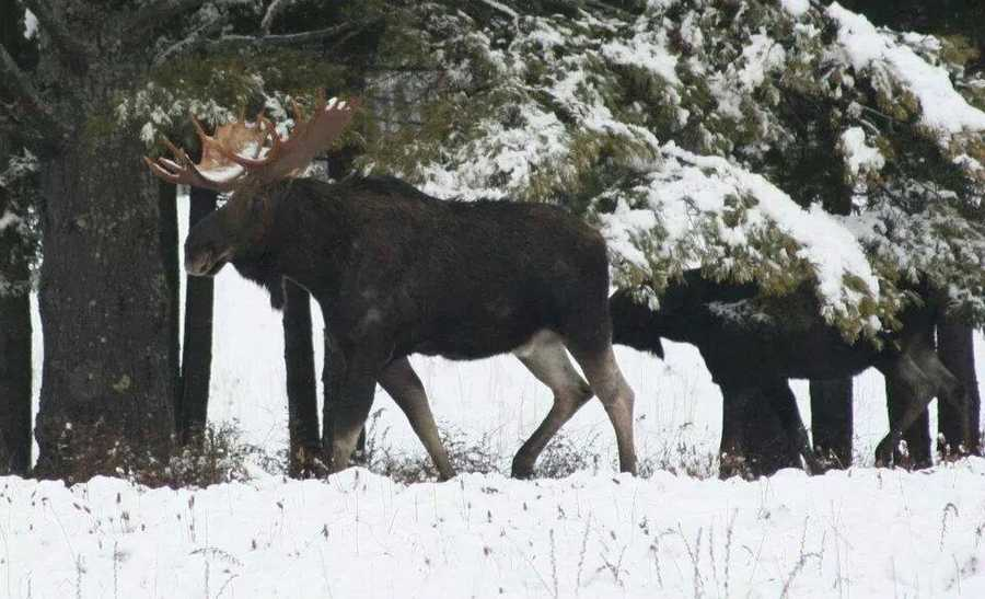 A zoomed-in look at two of the three moose visiting the top of Bethel/Rochester Mountain in Bethel, Vermont.