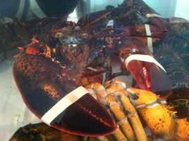 After molting, lobsters eat the discarded shell, and it actually helps harden the new shell.