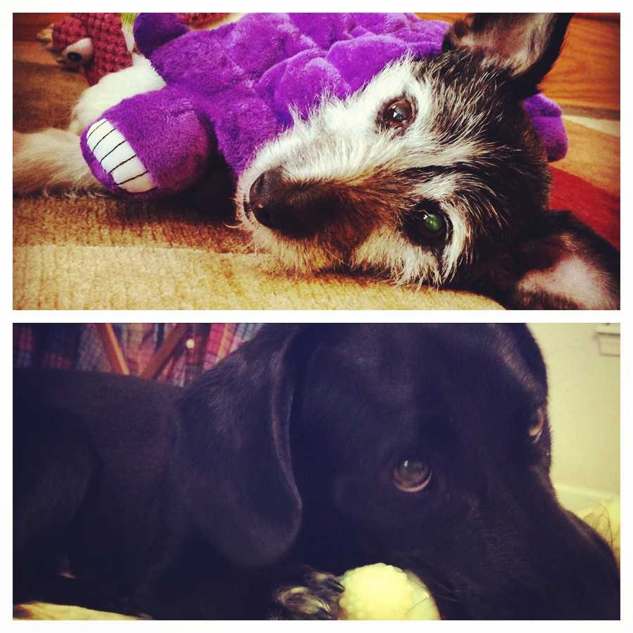 For National Dog Day, we asked our viewers to send us photos of their four-legged friends. Tap here to see 25 things you might not know about dogs! Pictured: WPTZ reporter, Rachel Karcz's two dogs Chuck and Truman.