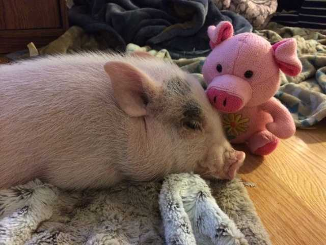 This is Pork Chop, the Queen City's pinkest resident. This unusual pet could be kicked out of town if the Burlington City Council approves a ban on barnyard animals within the city limits. The council is currently reviewing such a proposal. Watch the story here.