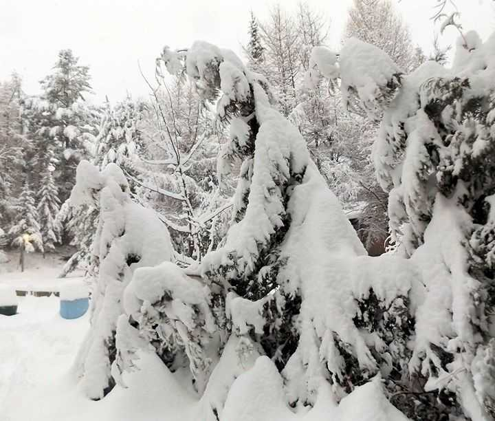 Connie's snow covered trees in Lake Placid.
