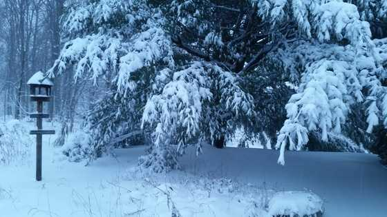 ULocal user Swem01 shared this photo of the snow on the pines.