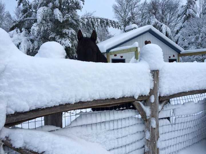 Sheila Martin sent this picture of a horse peeping over the snow, beautiful!