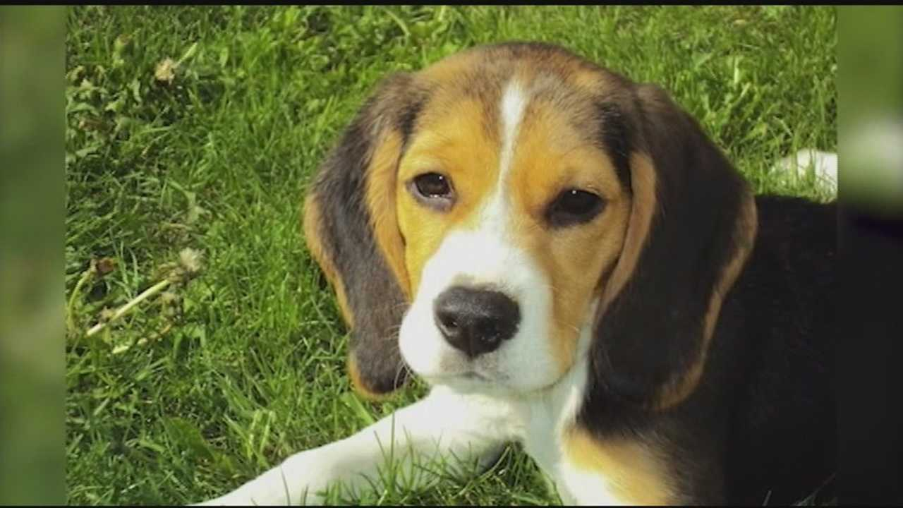 People for the Ethical Treatment of Animals worried choosing the beagle as Vermont's state dog will promote puppy mills.