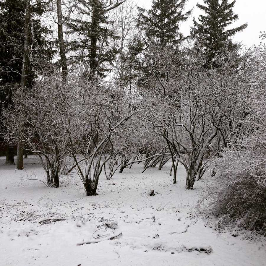 The trees in Ellen's backyard were covered in snow when she stepped out this morning.