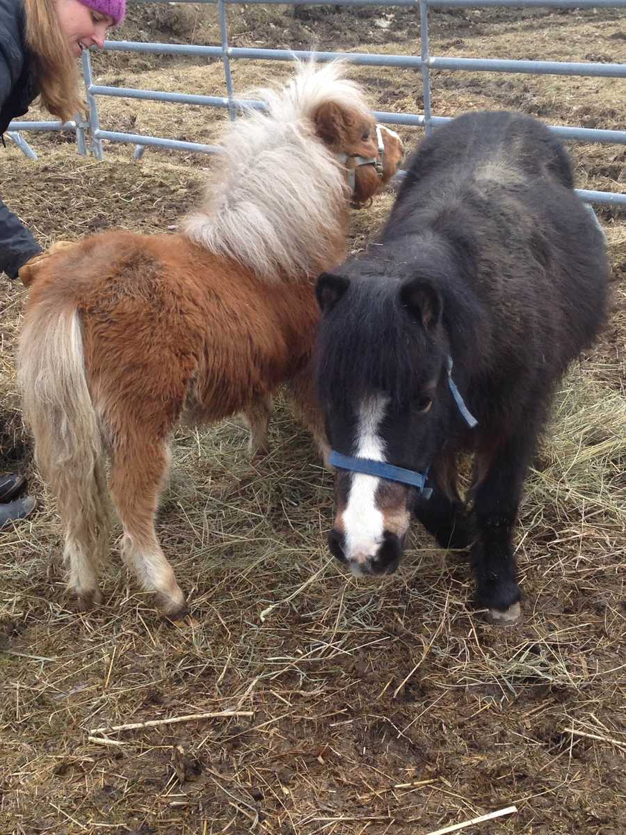 Two mini horses are in the care of Dorset Equine Rescue after being rescued from living in a camper.