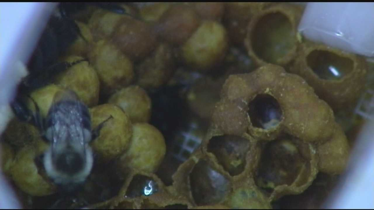 Study focuses on bee habits with blueberry plant