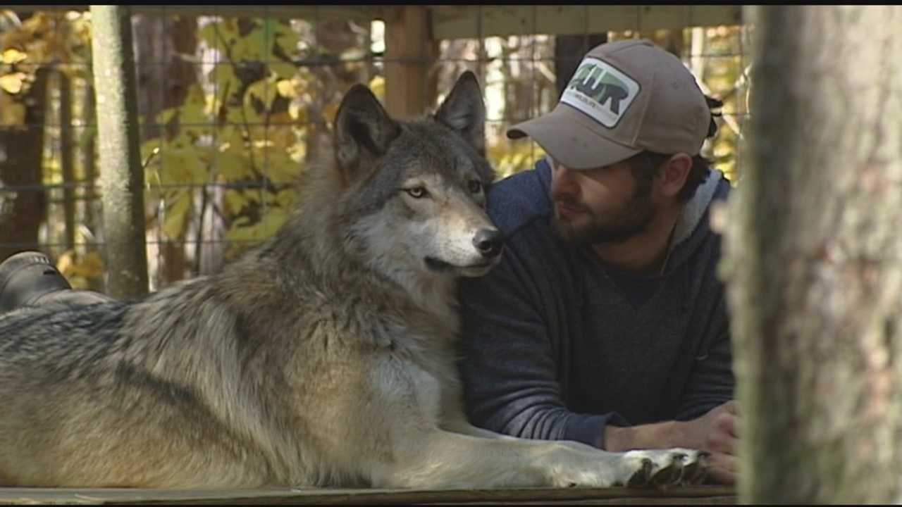 Wolves are often labeled as vicious creatures, willing and able to attack anything that threatens the pack. But that's the stereotype the Adirondack Wildlife Refuge and Rehab Center is trying to change.