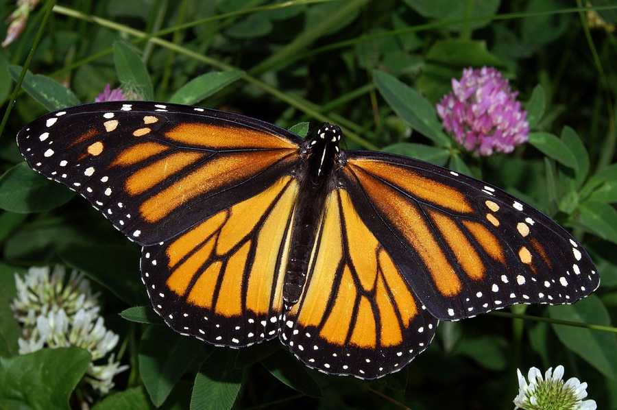 The monarch is the Vermont state butterfly.