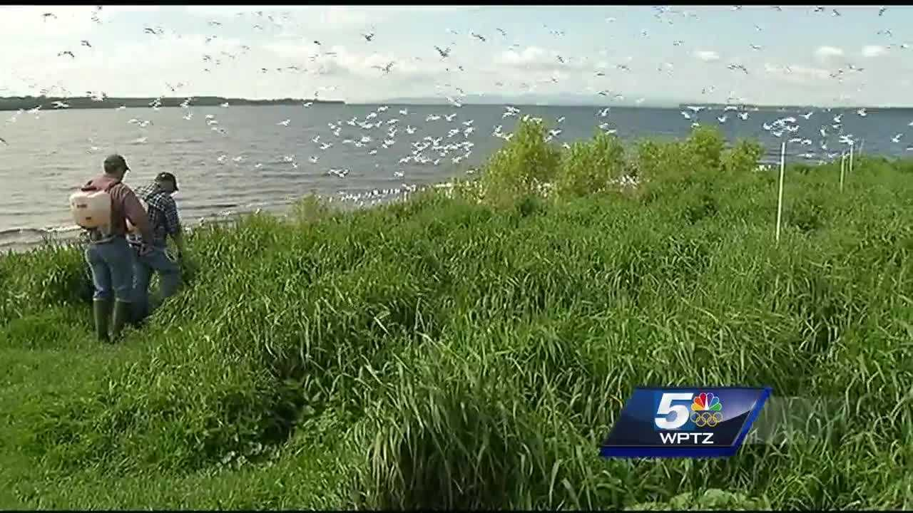 Biologists pushing to take back VT island from gull population