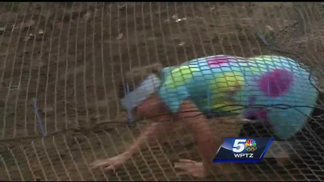 Plattsburgh's obstacle race is back for its seventh year in a row.