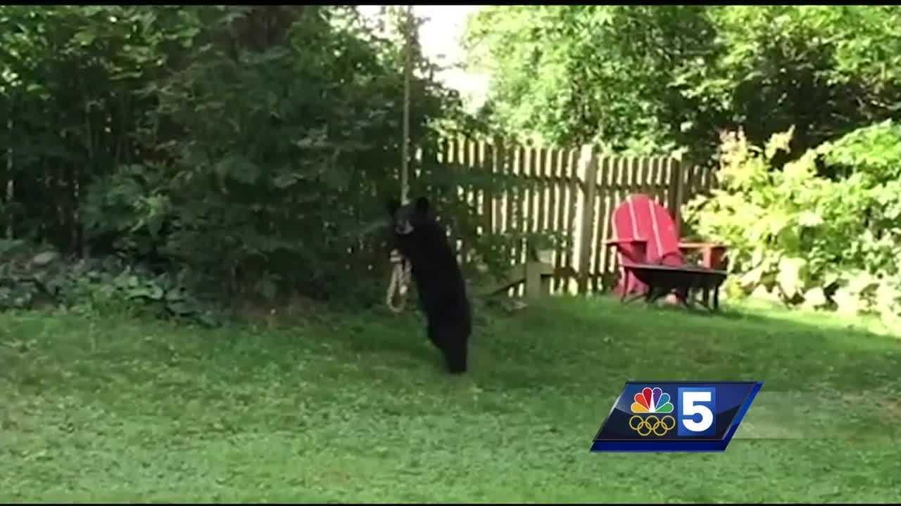 black bear cubs take a swing on backyard