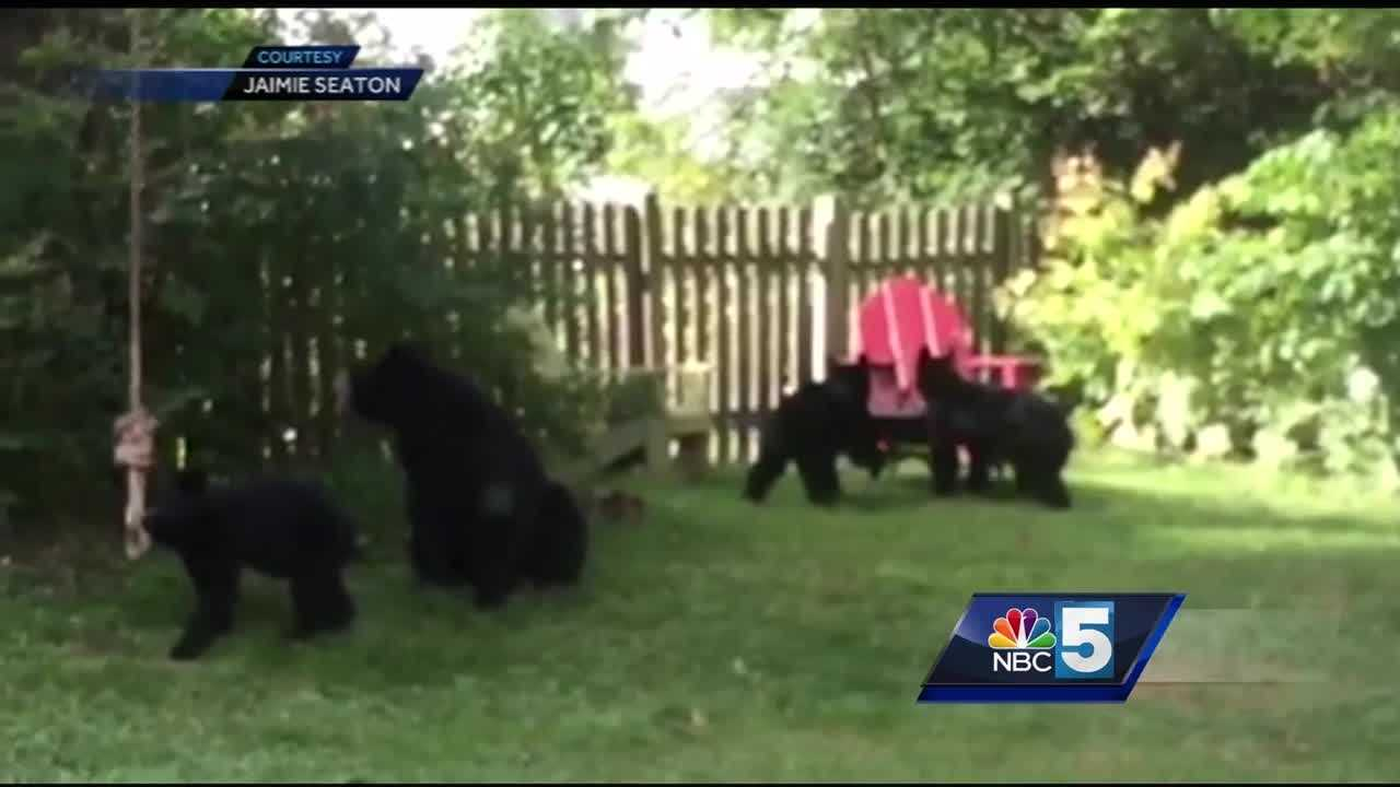 New Hampshire wildlife biologists say black bear sightings are above average this summer.  After a slow start to the berry season, they're making their way into people's yards in search of more food.